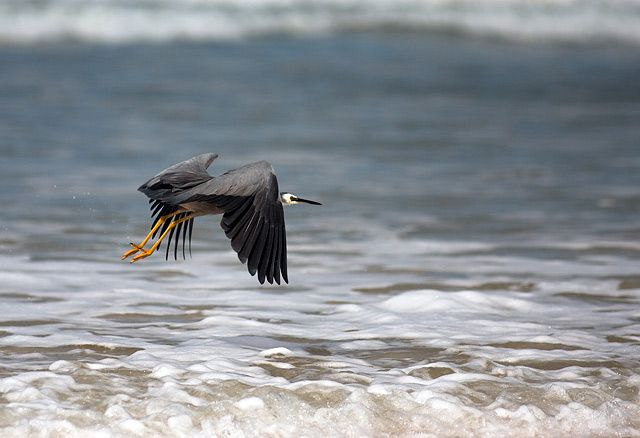 Zdjęcia: Fraser Island, Queensland, czapla szara (chyba tak sie nazywa?), AUSTRALIA
