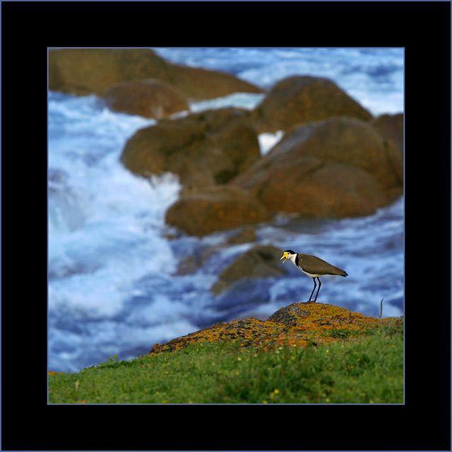 Zdjęcia: Victor Harbour, South Australia, czajka platkolica, AUSTRALIA
