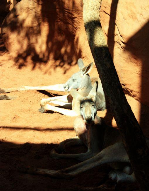 Zdjęcia: Sydney, Nowa Południowa Walia, Kangury: musisz to zobaczyć!!! :), AUSTRALIA