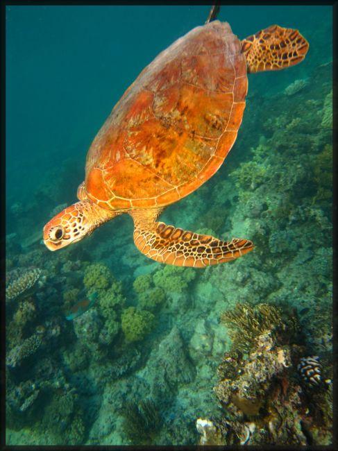 Zdjęcia: great Barrier  reef, great Barrier  reef, żółw; nurkowanie w Australii, AUSTRALIA