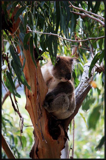 """Zdjęcia: Great Ocean Road, Wiktoria, """"Dziki"""" Koala, AUSTRALIA"""