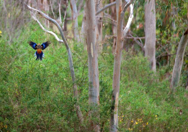 Zdjęcia: Mt Lofty Ranges, -South Australia, duch eukaliptusowego lasu, AUSTRALIA