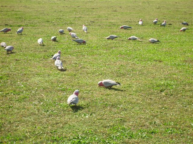 Zdjęcia: Tuggeranong, NSW, Galah, papugi, AUSTRALIA