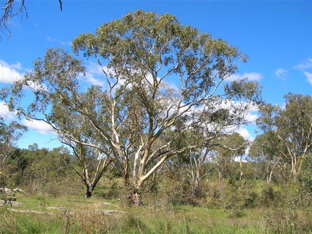 Zdjęcia: Australian Alps, Wsch. Australia, Takie duze drzewo eukaliptusa, AUSTRALIA