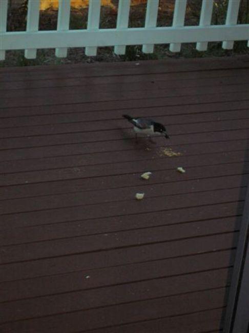 Zdjęcia: WA, WA, Butcher bird, AUSTRALIA