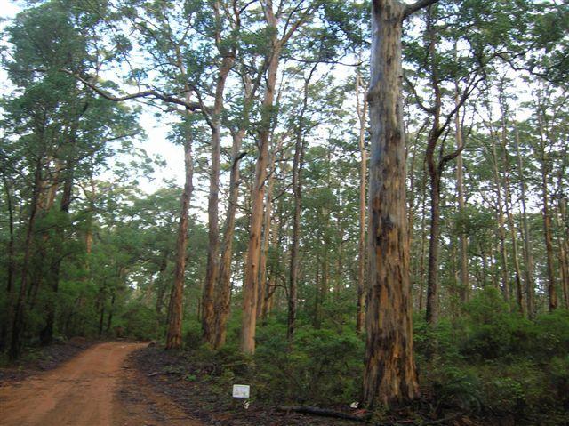 Zdjęcia: Margaret River, Zach.Australia, Karri forest, AUSTRALIA
