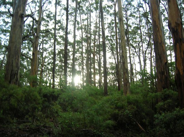Zdjęcia: Margaret River, Zach.Australia, Karri forest-zachod slonca, AUSTRALIA