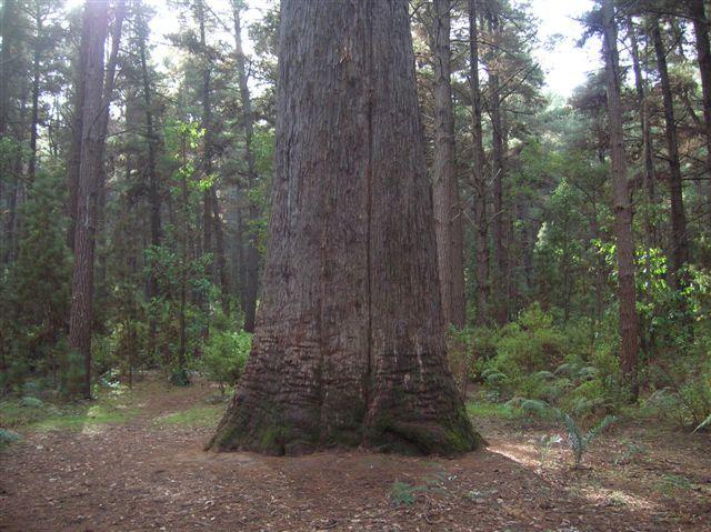 Zdjęcia: Dwelingup, Zach. Australia, Drzewo Jarra-wysokie 70m, AUSTRALIA