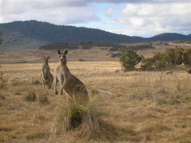 Zdjęcia: Yankee Hut, ACT, Przywodca stada, AUSTRALIA