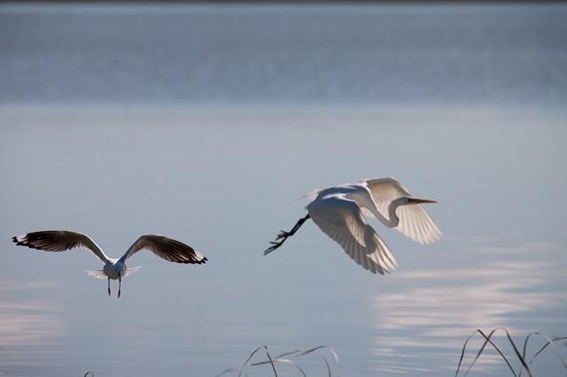 Goolwa Australia  city photos gallery : Zdjęcia: Goolwa, South Australia, drugi ptak w gratisie, AUSTRALIA