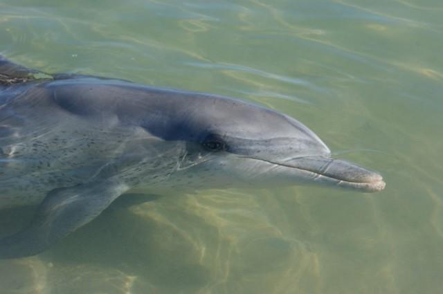 Zdjęcia: Monkey Mia, Zachodnia Australia, Delfin, AUSTRALIA