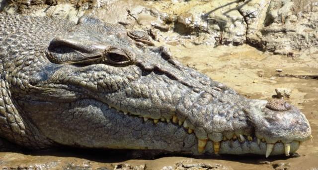 Zdjęcia: rzeka Daintree, Daintree Nat. Park, Krokodyl różańcowy , AUSTRALIA