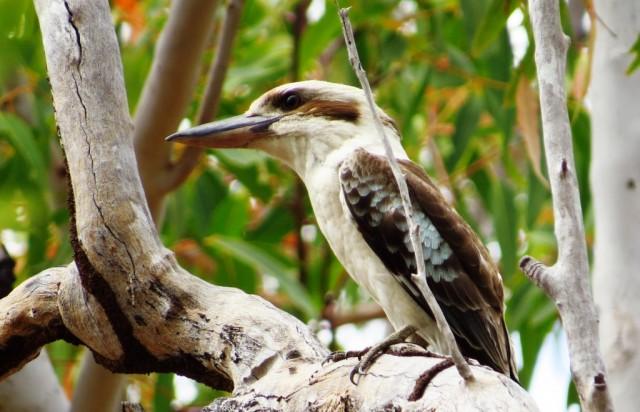 Zdjęcia: Mareeba, Queensland, Kukabura, AUSTRALIA