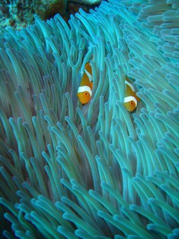 Zdj�cia: Wielka Rafa Koralowa, Anemon, AUSTRALIA
