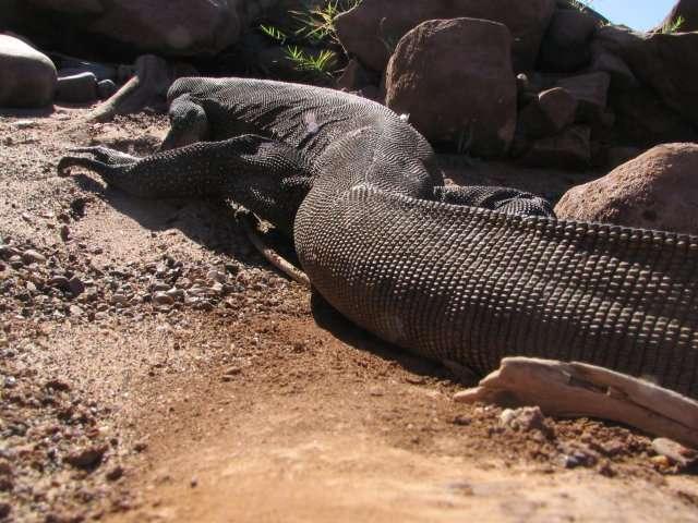 Zdjęcia: Iguana, AUSTRALIA