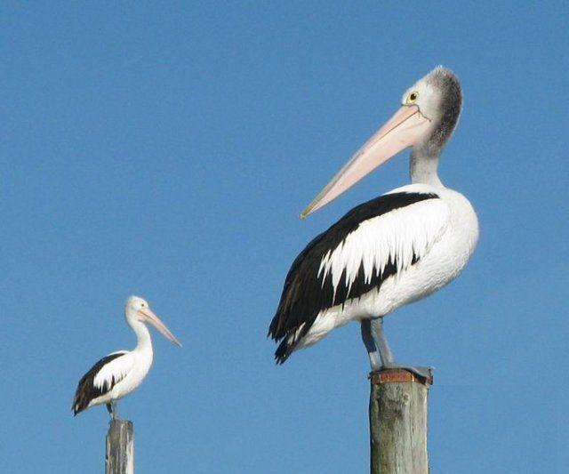 Zdjęcia: Mallacoota, Wiktoria, Pelikany, AUSTRALIA