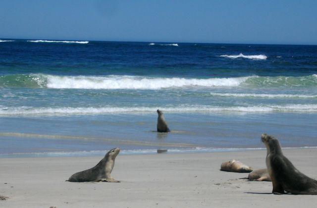 Zdjęcia: KANGAROO ISLAND, Zatoka Lwow Morskich, AUSTRALIA