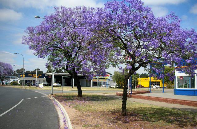 Zdjęcia: ADELAIDA, urok kwitnacych drzew jakaranda, AUSTRALIA