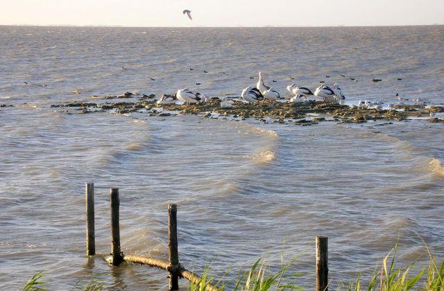Zdjęcia: KANGAROO ISLAND, pelikany, AUSTRALIA