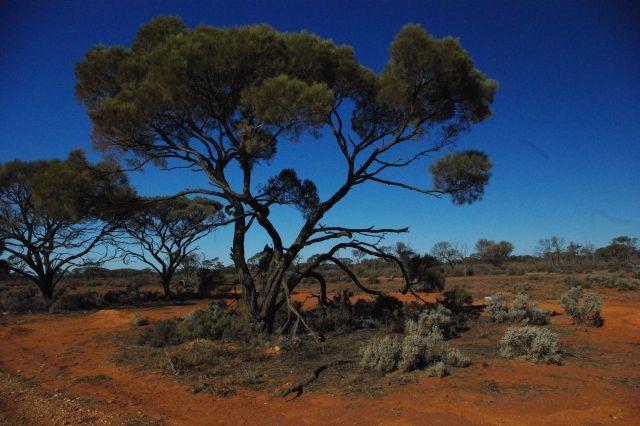 Zdjęcia: Glendambo, South Australia, Eukaliptus, AUSTRALIA