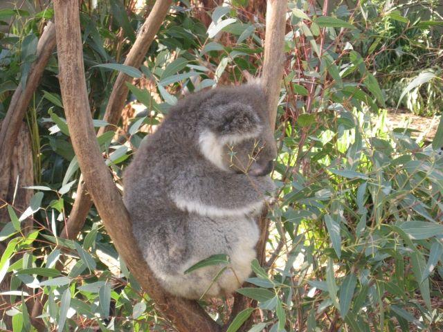 Zdjęcia: Phillip Island , Victoria, Miś koala, AUSTRALIA