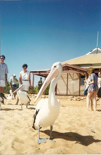 Zdjęcia: Monkey Mia, Australia Zachodnia, pelikan, AUSTRALIA