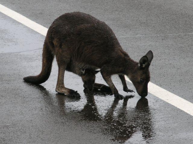 Zdjęcia: Kangaroo Island, Kangaroo Island, Maleństwo, AUSTRALIA