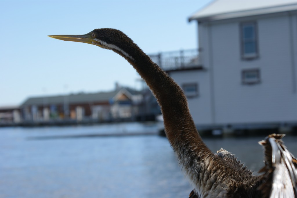 Zdjęcia: Perth, Zachodnia Australia, Birdie, AUSTRALIA