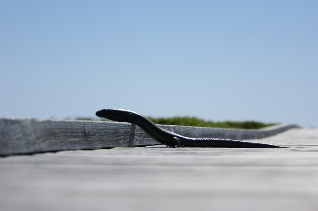 Zdjęcia: Rottnest Island, Zachodnia Australia, Jaszczurkowąż, AUSTRALIA