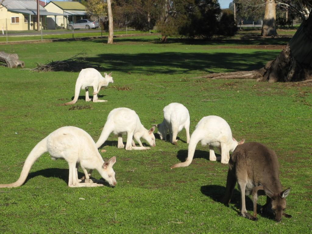 Zdjęcia: Bordertown, Australia Południowa, Kangury w Bordertown Wildlife Park, AUSTRALIA
