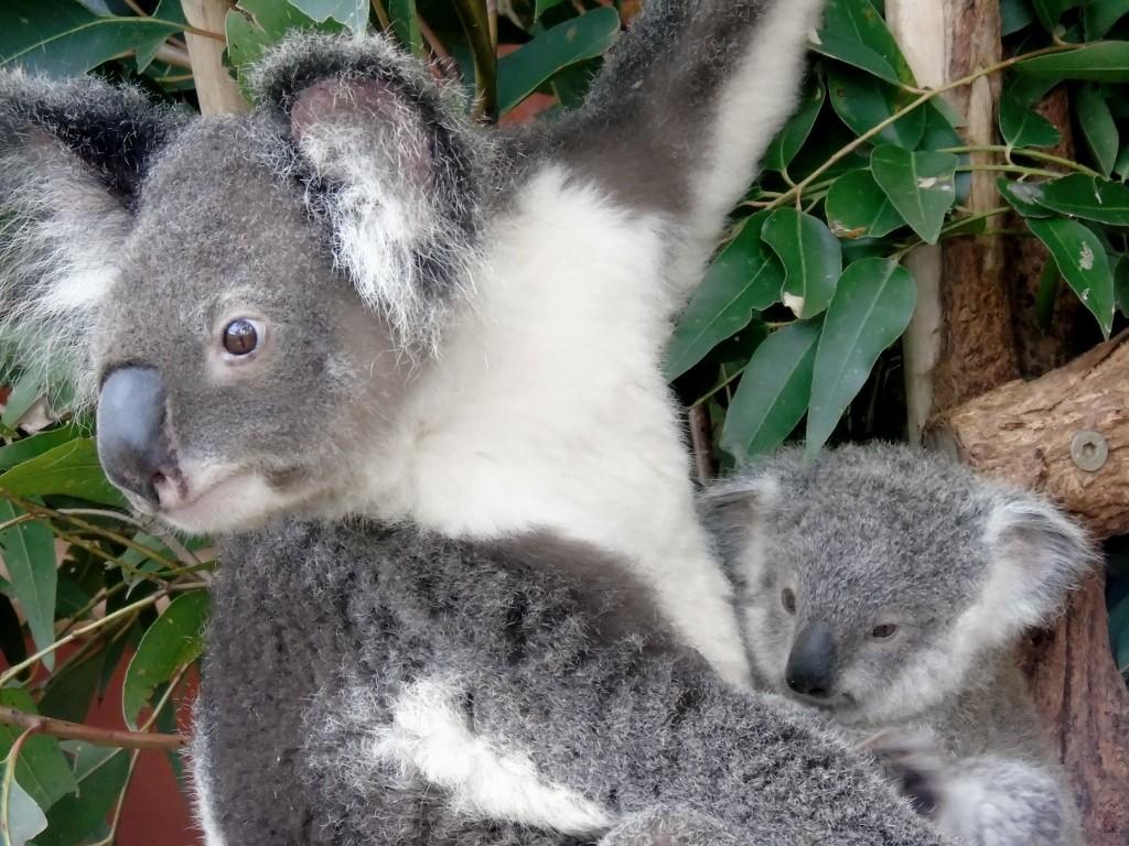 Zdjęcia: Lone Pine Koala Sanctuary, Queensland, Mama, AUSTRALIA