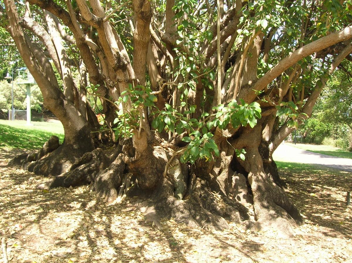 Zdjęcia: Kangooroo peninsula, Queensland, Szerokie drzewo Kauri, AUSTRALIA