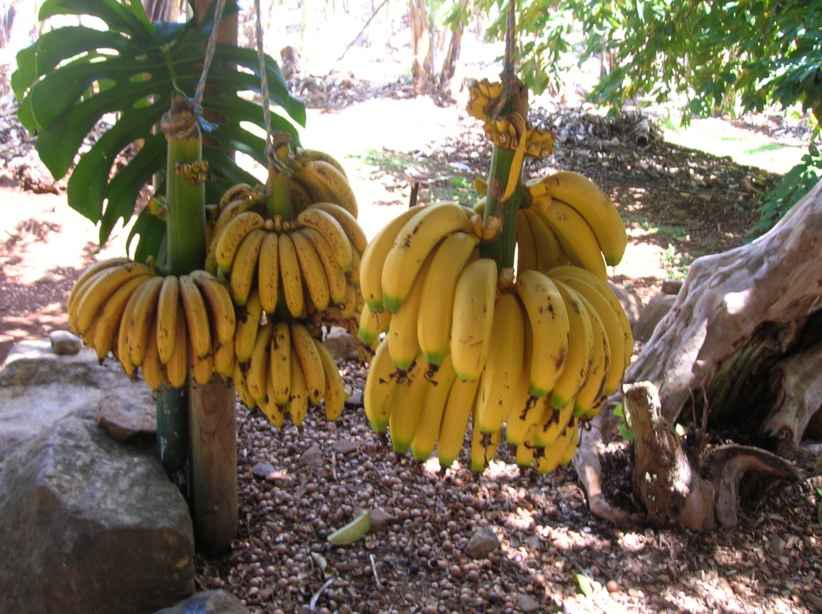 Zdjęcia: na farmie, NSW, Banany i zjedzone orzechy macadamia, AUSTRALIA