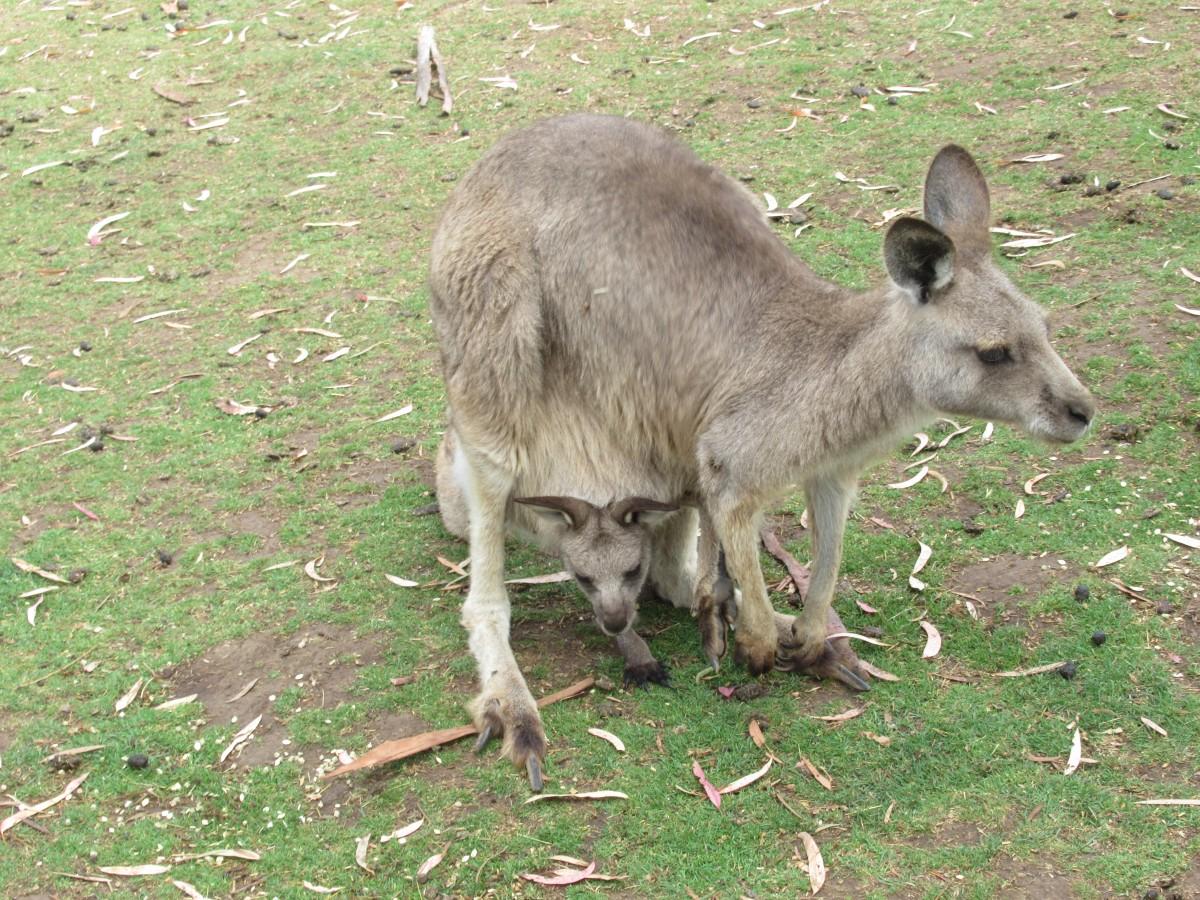 Zdjęcia: Bonorong Wildlife Sanctuary, Tasmania, Tasmanskie kangury, AUSTRALIA