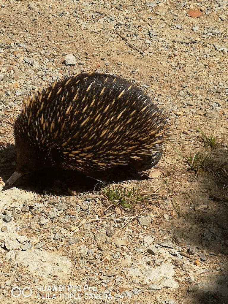 Zdjęcia: The Briars Park, Wiktoria ,  Kuzynka jeża - kolczatka , AUSTRALIA