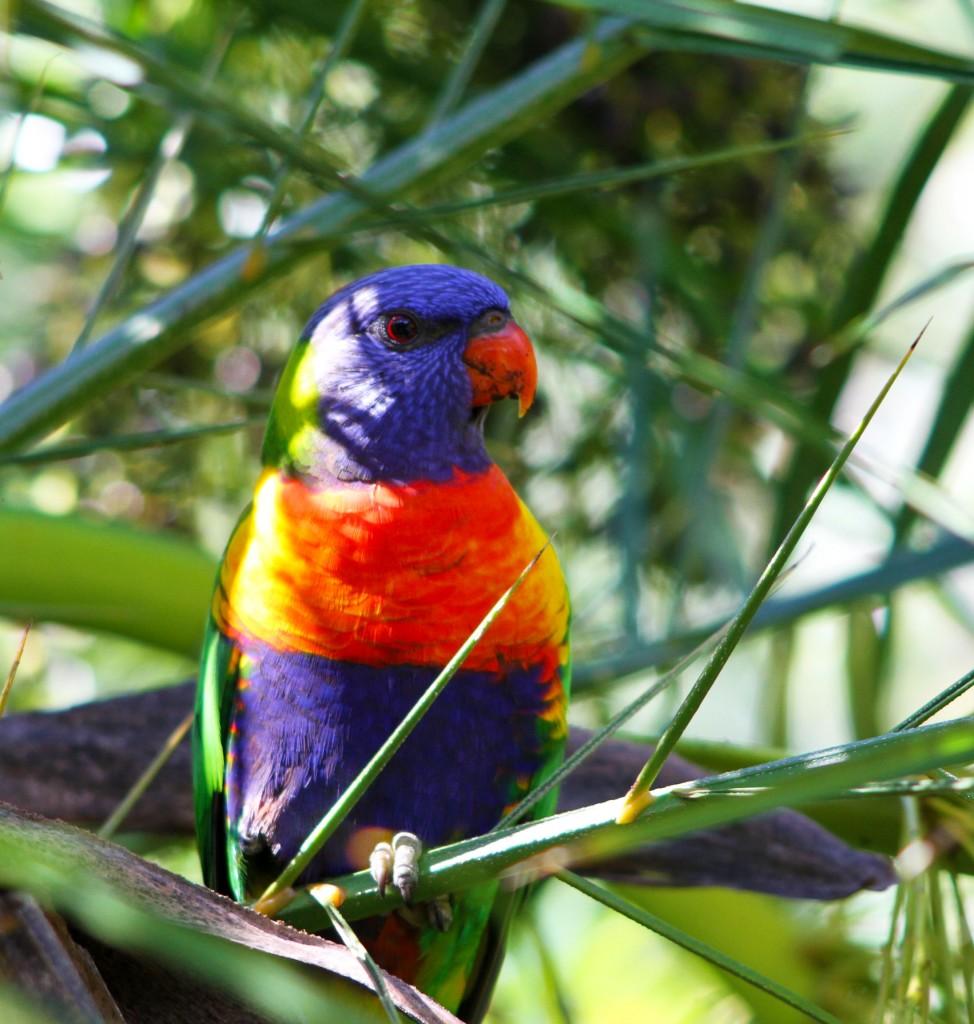 Zdjęcia: Nelson Bay, NPW, Papuga, AUSTRALIA