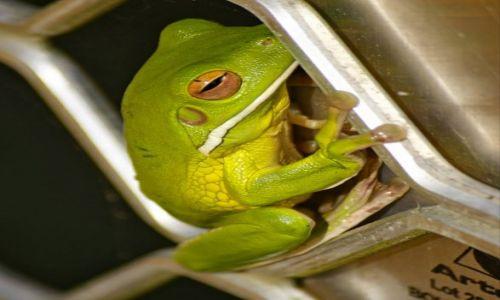 Zdjęcie AUSTRALIA / Queensland / Daintree National Park / Zielona Zaba Drzewna