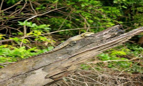 AUSTRALIA / Queensland / Daintree National Park  / Jaszczurka wodna