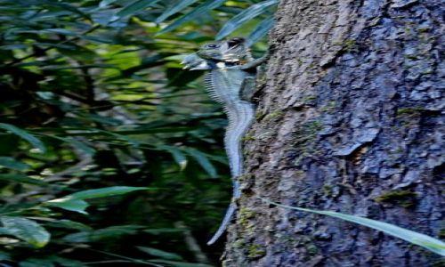 AUSTRALIA / Queensland / Daintree / Jaszczurka