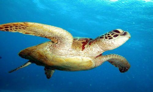 Zdjęcie AUSTRALIA / Queensland / Great Barrie Reef / Zielony Zolw Wodny