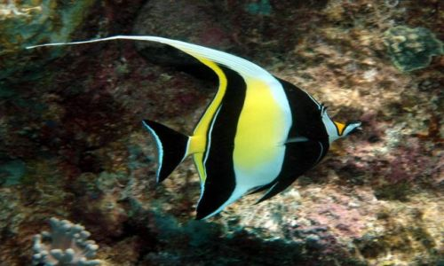 AUSTRALIA / Queensland / Great Barrier Reef / Moorish Idol