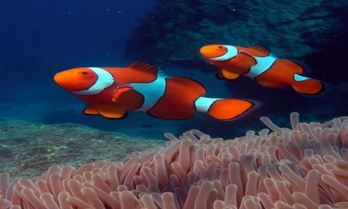Zdjecie AUSTRALIA / Queensland / Great Barrier Reef / Gdzie jest Nemo?