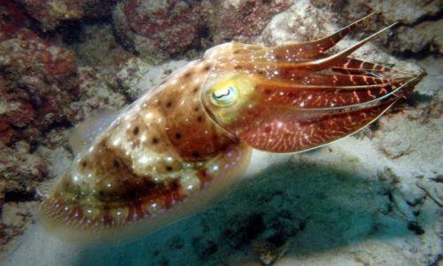 Zdjęcie AUSTRALIA / Queensland / Great Barrier Reef / squid