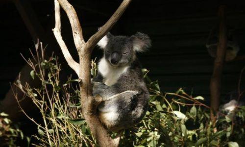 Zdjęcie AUSTRALIA / Queensland / Brisbane / Koala