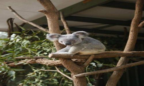 Zdjecie AUSTRALIA / Queensland / Brisbane / Koala