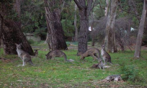 Zdjecie AUSTRALIA / Victoria / 2 godz od Melbourne / Kangury, Przy gorach Grampians