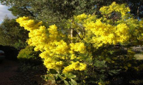 Zdjęcie AUSTRALIA / Canberra / przy domach / Wattles(mimoza)---Canberra wiosna