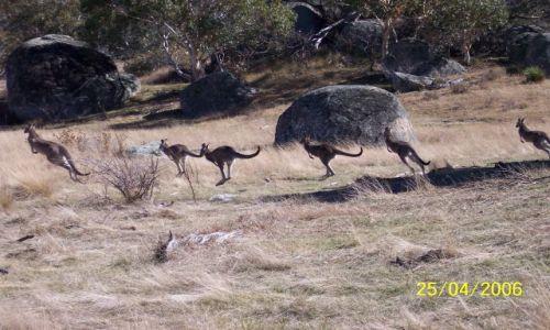 Zdjęcie AUSTRALIA / Narodowy Park kolo Canberry / Park / Kangurki