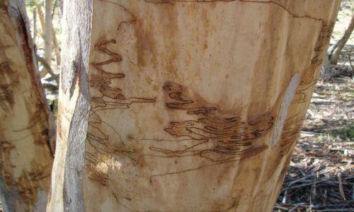 Zdjęcie AUSTRALIA / canberra / Park narodowy / Piszace robaki na Scribbly Gum(nazwa drzewa)