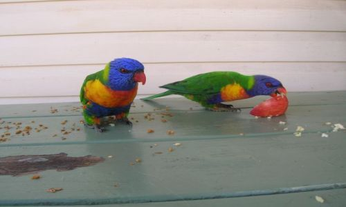 AUSTRALIA / Nad oceanem--Narooma / NSW, w karawan parku / Papuzki--Rainbow Lorikeete